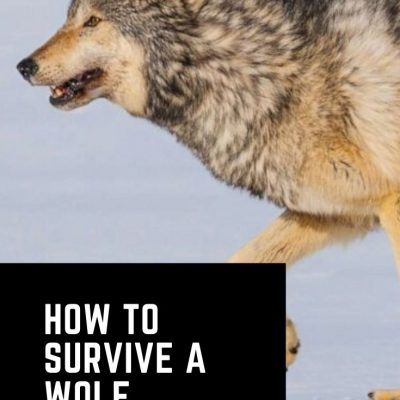 Wolf Attack: How to Survive | Tips for Avoiding Encounters with Wolves