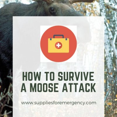 Moose Attack: How to Survive It | Tips for Avoiding Moose Attacks